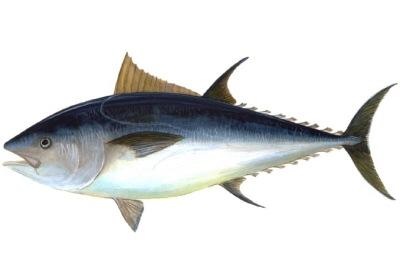 http://www.asturiasverde.com/banco-de-imagenes/mar/pesca/b/atun-rojo.jpg